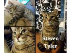 Adopt Steven Tyler a Brown Tabby Domestic Shorthair / Mixed cat in Hamilton