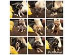 Adopt Beagle Mix Puppies a Beagle dog in Milton, GA (31088770)