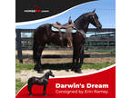 DREAM, MORIESIAN GELDING Registered W/FRIESIAN SPORT HORSE REGISTRY