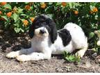 Labradoodle Puppy for sale in Lecanto, FL, USA