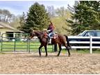 Big Quiet Gaited Horse Well Broke to Ride Drive