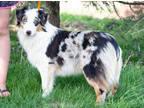 Australian Shepherd Puppy for sale in Pella, IA, USA