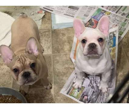 French Bulldog Puppies is a Male French Bulldog Puppy For Sale in Houston TX