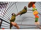 Adopt Brat & Ernie a Macaw bird in Edgerton, WI (31145362)