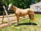 Palomino Quarter Horse Mare
