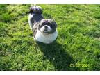 Adopt Matty a White - with Black Shih Tzu / Mixed dog in Coldwater