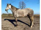 Dappled Gray Missouri Foxtrotter Gaited Trail Gelding