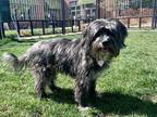 Adopt Atticus a Gray/Blue/Silver/Salt & Pepper Lhasa Apso / Mixed dog in