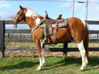 Beginner Safe And Youth Friendly Sorrel & White Tobiano Paint Gelding
