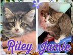Adopt RILEY & JAMIE a Gray, Blue or Silver Tabby Maine Coon (medium coat) cat in