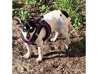Hashbrowns, Rat Terrier For Adoption In Howey In The Hills, Florida
