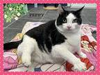 Peppy, Domestic Shorthair For Adoption In Orangeville, Ontario