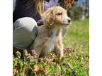 Labradoodle Puppy for sale in Greenville, SC, USA