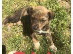 Adopt 6 Beautuful Summer Blooms a Black Mouth Cur, Australian Cattle Dog / Blue