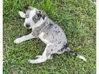 Adopt Conway a Labrador Retriever, Catahoula Leopard Dog
