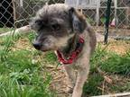 Adopt Ralph a Miniature Poodle, Mixed Breed