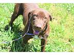 Cocoa Love, Labrador Retriever For Adoption In Fond Du Lac, Wisconsin
