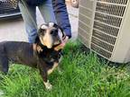 Adopt Frank A Black - With Tan, Yellow Or Fawn Foxhound / Mixed Dog In