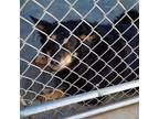 Adopt Norwood a Black German Shepherd Dog / Border Collie dog in Jefferson City