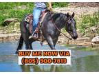 Stunning And Broke Blue Roan Quarter Horse Gelding