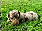 Dachshund Puppy for sale in Avery, TX, USA