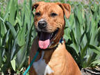 Adopt COLBY a Red/Golden/Orange/Chestnut - with White Shar Pei / Mixed dog in
