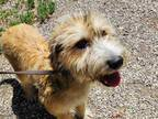 Adopt *CORDUROY a Tan/Yellow/Fawn - with Black Wheaten Terrier / Mixed dog in