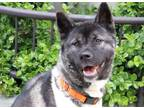 Adopt Ms. Bailey a Black Akita / Mixed dog in Chicago, IL (31210547)