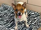Adopt CAPRI a White - with Tan, Yellow or Fawn Rat Terrier / Jack Russell