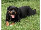 Purebred Female Rottweiler Dog For Private Adoption - Toronto ON