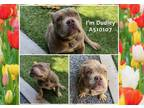 Adopt a Brown/Chocolate American Staffordshire Terrier / Mixed dog in Moreno