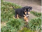 Adopt Rocky a Black - with Tan, Yellow or Fawn Dachshund / Mixed dog in Memphis