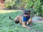 Adopt Tidde a Brindle Boxer / Terrier (Unknown Type, Medium) / Mixed dog in