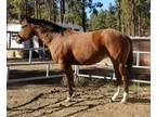 Beautiful bay APHC mare