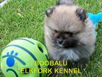 Pomeranian Puppy for sale in Paris, MO, USA
