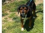 Adopt Terrance a Cavalier King Charles Spaniel, Beagle