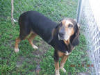 Adopt RADA a Tricolor (Tan/Brown & Black & White) Bloodhound / Mixed dog in