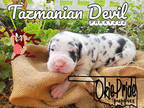 Great Dane Puppy for sale in Beggs, OK, USA