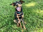 Adopt JULIAN a Doberman Pinscher, Labrador Retriever