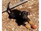 Adopt Snorlax a Black Doberman Pinscher / Mixed dog in Cumming, GA (31264035)