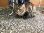Adopt Beth Boland a Brown Tabby Domestic Longhair (long coat) cat in Junction