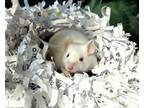Adopt Yeti A Mouse Small Animal In Lexington, KY (31277256)