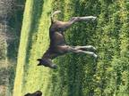 This Beautiful Colt Was Born 514 And As Perfect As They Come Hes Got A Gorgeous Little Head And Nice Long Legs He Should Li D Mature To Around 15 Hand