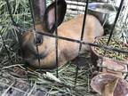 Adopt SUEDE a Tan Other/Unknown / Mixed rabbit in San Martin, CA (31278959)