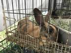 Adopt MARBLE a Fawn Other/Unknown / Mixed rabbit in San Martin, CA (31278925)