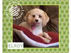 Adopt Elroy APPLICATION IN REVIEW a Cavalier King Charles Spaniel, Poodle