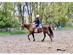 Quiet Versatile Quarter Horse for Sale
