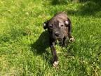 Adopt Roquefort a Boxer, Labrador Retriever