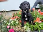Labradoodle Puppy for sale in Castle Rock, WA, USA