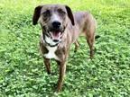 Adopt OLIVE a Brown/Chocolate Plott Hound / Mixed dog in Murfreesboro